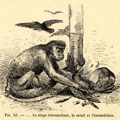 Captive Predatory Chimpanzee Print
