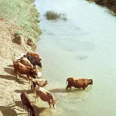 Cattle in River Outside Mateur