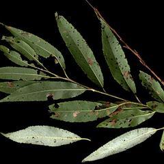 Leafy bough of Salix nigra