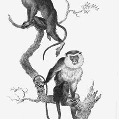 Mustache Monkey and Varied Monkey