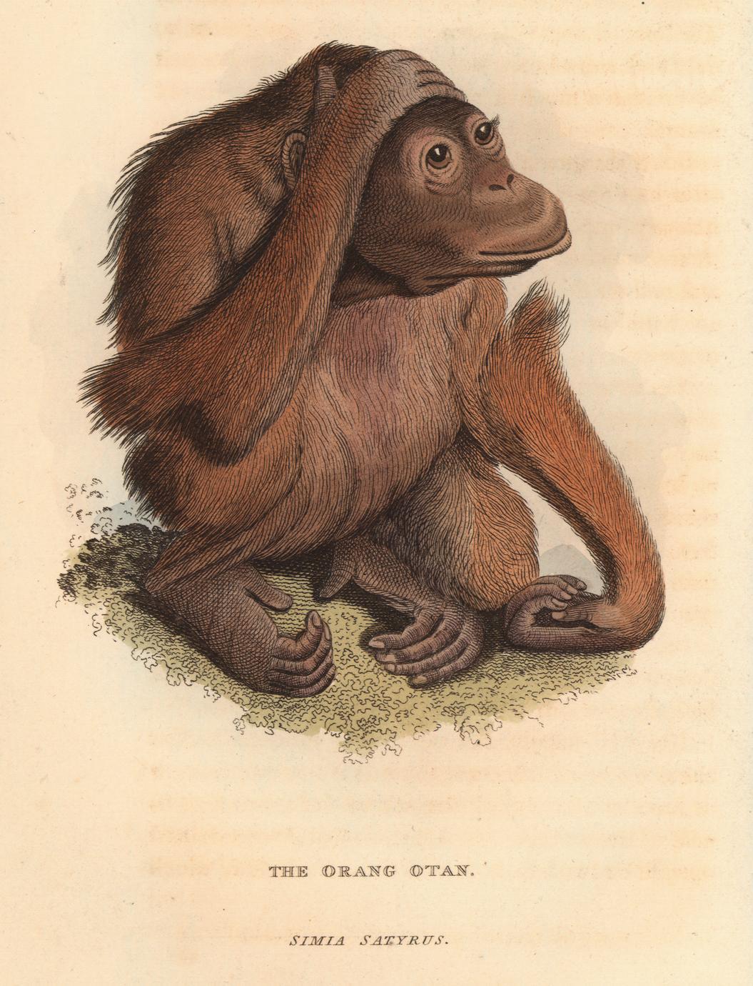 The Orang Otan