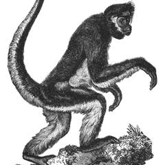 A Type of Spider Monkey