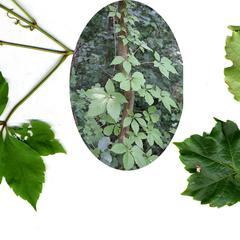 Parthenocissus : Composite : 1. P. quinquefolia leaf and vine, 2. P. tricuspidata shoot