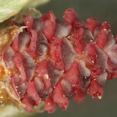 Close up of newly emergent ovulate cone of red pine 2