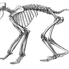 Babouin noir (black baboon)