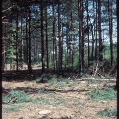 New clearing in the beltline screen in summer, University of Wisconsin Arboretum