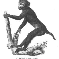 Il Macaco A Coda Corta