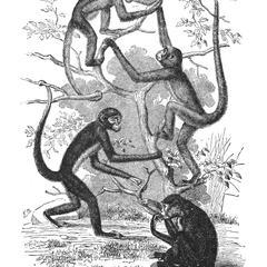 Typical Spider-Monkeys