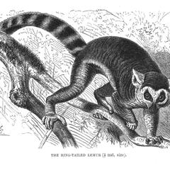 The Ring-Tailed Lemur (1/7 nat. size)
