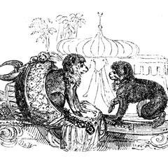 Barbary Apes in Captivity