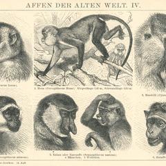 Affen der Alten