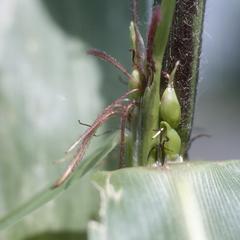 Zea mays subspecies mexicana