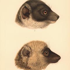 Lemur mongoz, var. albifrons