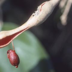 """Capparis odoratissima, """"iguanito"""""""