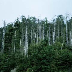 Dead fraser fir trees at Clingman's Dome