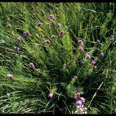 Purple prairie clover, Chiwaukee Prairie, State Natural Area