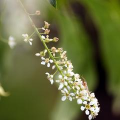 Black cherry, Prunus serotina - inflorescence with mosquito