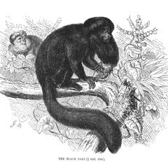 The Black Saki (1/5 nat. size)