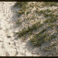 Juniperus horizontalis on dune, Kohler-Andrae State Park