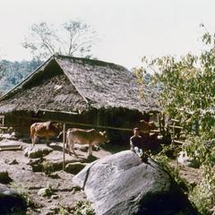 A White Hmong house with oxen in Houa Khong Province