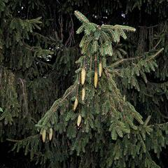 Norway spruce - bough with immature ovulate cones