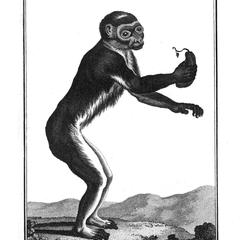 Le Pitheque vu debout (Ape standing upright)