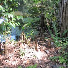 Cypress knees - near Charleston, South Carolina