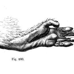 Main postéieure du mangabey (Mangabey foot)