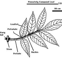 Labeled drawing of a pinnately compound leaf