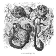 Silky Marmosets (1/4 nat. size)