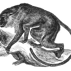 Climbing Proboscis Monkey Print