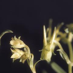 Flowers of two species of green gentians Halenia on top of Sierra Cuchumatanes