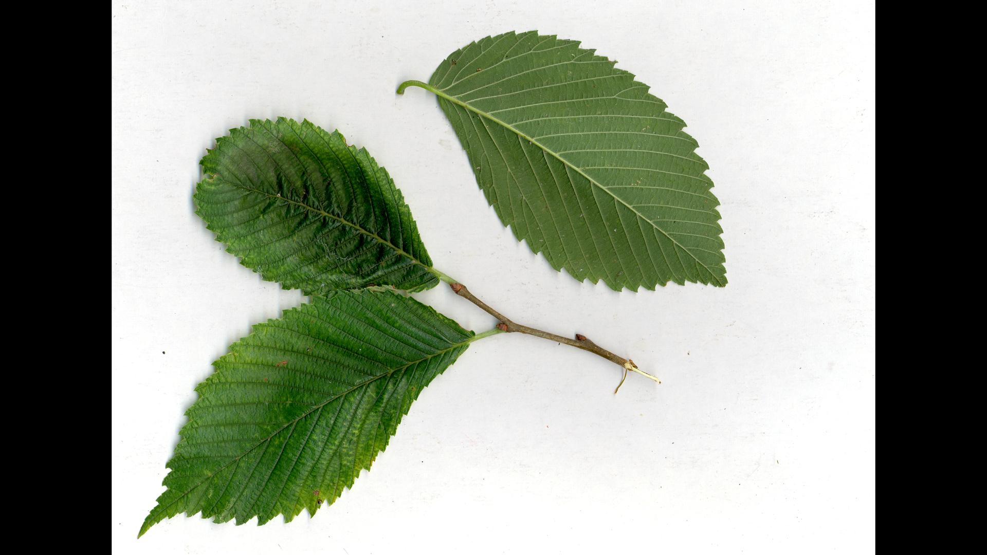 Ulmus americana - leaves and stem