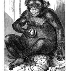 Seated Chimpanzee Print
