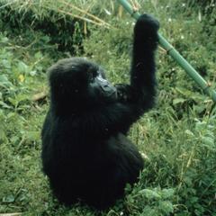 Gorilla gorilla berengei