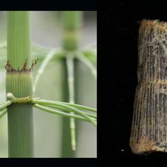 Composite of shoot of Equisetum giganteum and fossil of Calamites