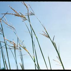 Big blue-stem or turkey-foot grass, Crex Meadows