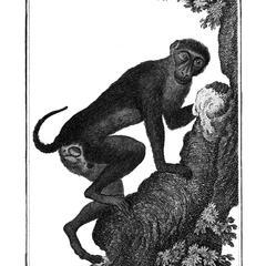 Le Patas a queue courte (Female patas monkey with short tail)