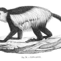 Colobe guéréza