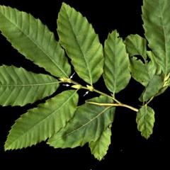 Pinnately veined leaf with toothed margins and stipules of Chinese chestnut