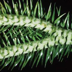 Dichotomous branch of Huperzia squarrosa