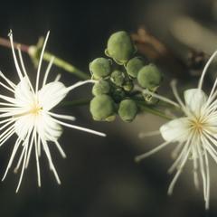 Capparis quiriguensis, Population B
