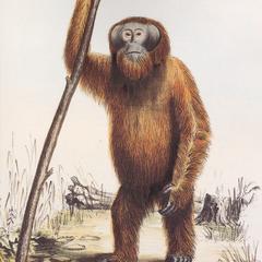 Orang-Outan or Pongo
