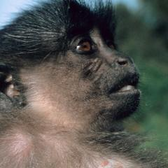 Lophocebus albigena