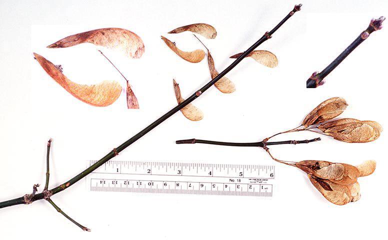 Winter twig with fruit of box elder