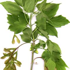 Branch with axillary fruits of box elder