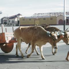 Painted ox cart, San José