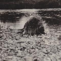 Porcupine on Flambeau River