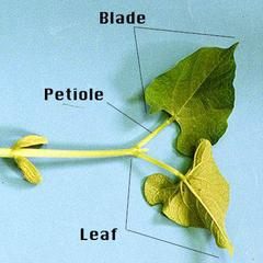 Bean seedling with parts of the leaf labeled