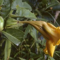 Cultivated Solandra, Guadalajara